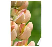 apricot Lupin Poster