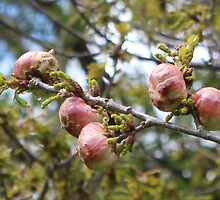 Oak Apples by AnnDixon