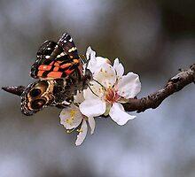 Sweet Butterfly by Penny Odom