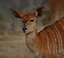 Nyala by laureenr