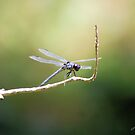 Dragon Fly by Jeff Ore