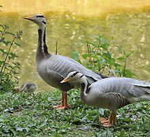 Barhead Geese Family by John Hooton