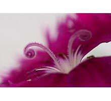 Dianthus (stamen) Photographic Print