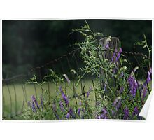 "PURPLE ""HAIRY"" VETCH (Vicia Villosa Roth) Poster"