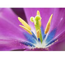 Secrets of the tulip Photographic Print