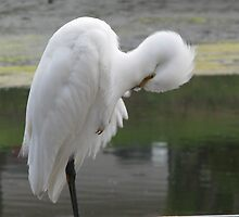 Snowy Egret by Gloria Abbey