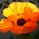 Brand-new poppy by armadillozenith