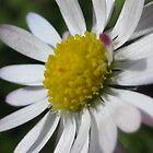 daisy2 by millymuso