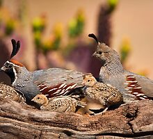 Gambel Quail by Dick Paige