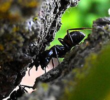Ant by sternbergimages