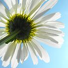 Shine Through the Petals by sternbergimages