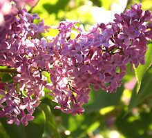 Lilac Aglow by Stephen Thomas
