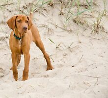 Fluffy Hungarian Vizsla by welovethedogs