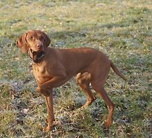 Adorable Hungarian Vizsla by welovethedogs