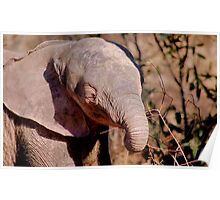 THE AFRICAN ELEPHANT – Loxodonta Africana Poster