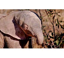 THE AFRICAN ELEPHANT – Loxodonta Africana Photographic Print