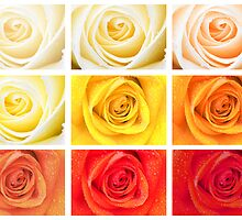 roses by faithimages