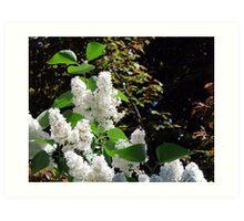 White Lilacs Art Print