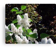 White Lilacs Canvas Print