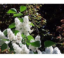 White Lilacs Photographic Print