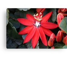 Scarlet Passionflower Canvas Print