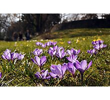 Spring meadow full of purple croccuses Photographic Print