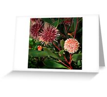 Hakea Laurina - Pin Cushion Hakea Greeting Card