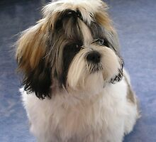 Adorbz Shih Tzu by welovethedogs
