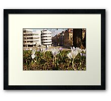 A white crocus meadow overlooking a white house Framed Print