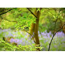 """"""" Amidst Bluebell Woods """" Photographic Print"""