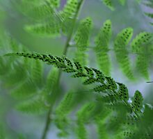ferns by Paul Kavsak