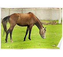 Horse Grazing in a Pasture Poster