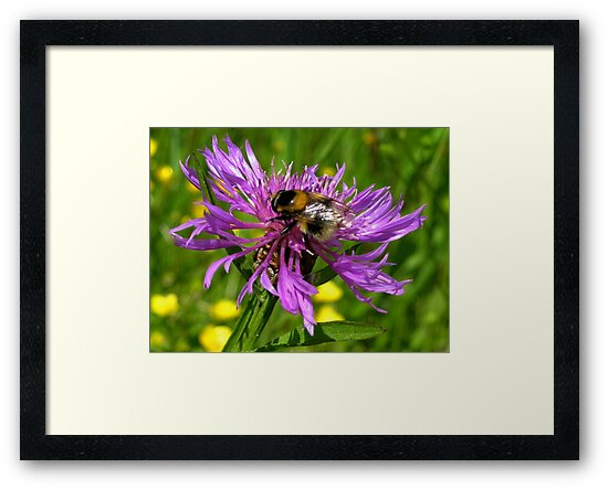 Bumble Bee on a wild Flower by ienemien