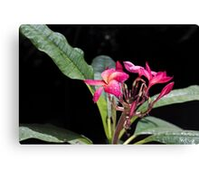 Blooming red plumeria Photographed in a botanic garden Canvas Print