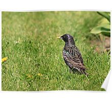 Starling I Poster