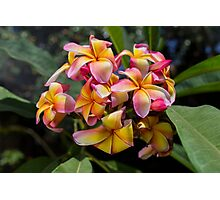 Blooming Frangipani (Plumeria tricolor)  Photographic Print
