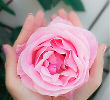 Woman cups a large pink rose in the palms of her hands by PhotoStock-Isra