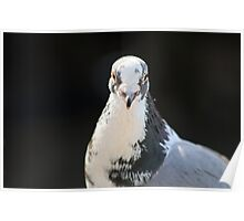 White Faced Pigeon Poster