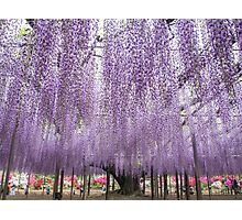 Japanese Wisteria of 150 years old Photographic Print