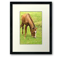 Brown Horse Grazing on a Farm Framed Print