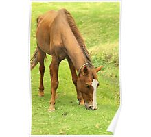 Brown Horse Grazing on a Farm Poster