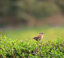 Dunnock in the drizzle by GreyFeatherPhot