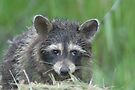 Raccoon by Dave & Trena Puckett