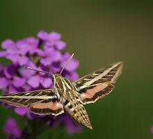 Striped Hawkmoth by kittyrodehorst
