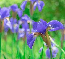 Group of purple irises in spring sunny day by yumehana