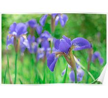 Group of purple irises in spring sunny day Poster