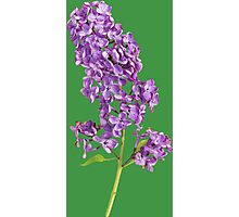 Beautiful lilac branch Photographic Print
