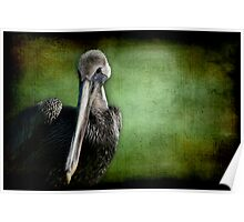 Young Brown Pelican Portrait Poster