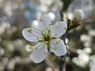 blackthorn blossom by millymuso