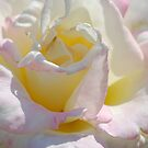 """""""Janice's"""" Rose... by Carol Clifford"""